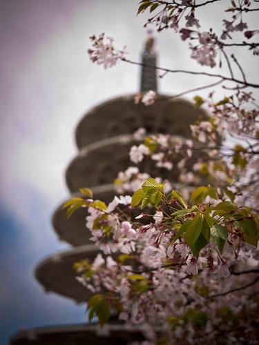CherryBlossom2012_059.jpg